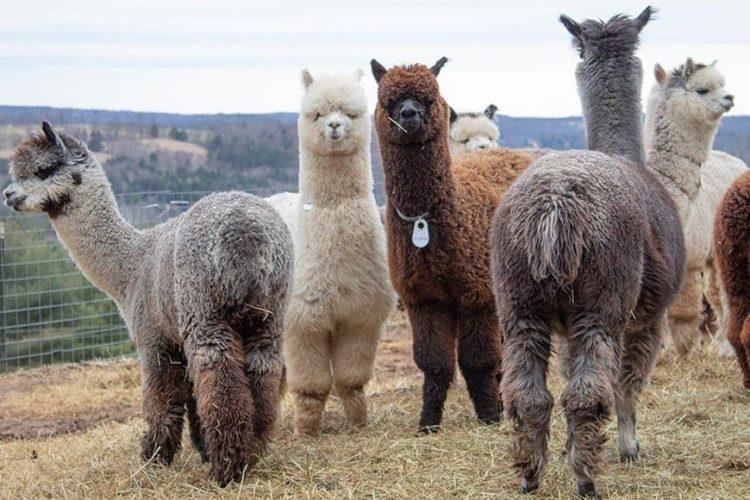 Alpacas-picture