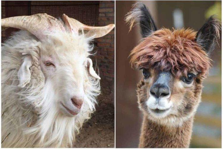 Cashmere vs. Alpaca